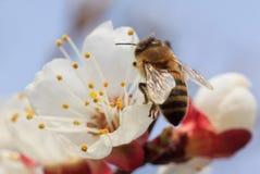 Пчела на цветении дерева абрикоса Стоковые Фотографии RF