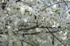 Пчела на цветении сливы весной Стоковые Изображения