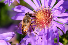 Пчела на цветении Стоковые Фотографии RF