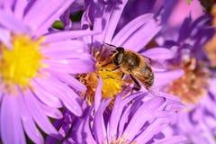 Пчела на цветении Стоковая Фотография RF