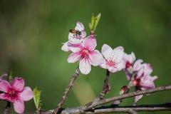 Пчела на цветках персика на зеленом цвете Стоковая Фотография