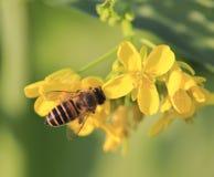 Пчела на цветках рапса стоковые изображения rf