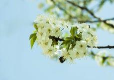 Пчела на цветках. Стоковое Фото