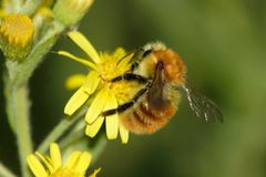 Пчела на цветках Стоковые Фотографии RF