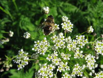 Пчела на цветках Стоковые Фото