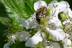Пчела на цветках Стоковая Фотография RF