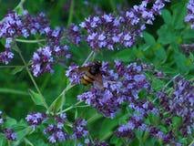 Пчела на цветках Стоковое Изображение RF