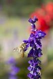 Пчела на цветке лаванды Стоковые Изображения