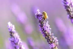 Пчела на цветке лаванды, Valensole меда, Провансаль стоковое изображение