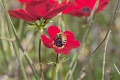 Пчела на цветке мака Стоковое Изображение