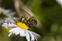Пчела на цветке маргаритки Стоковое Изображение
