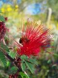 Пчела на цветке мимозы Стоковые Фото