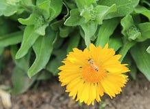 Пчела на цветке ноготк Стоковое Изображение