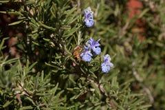 Пчела на цветке Розмари Стоковая Фотография