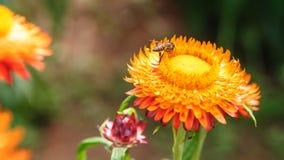 Пчела на цветке соломы Стоковое Фото
