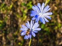 Пчела на цветке цикория Стоковая Фотография