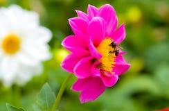 Пчела на цветке Стоковое Фото