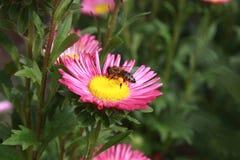 Пчела на цветке Стоковые Фото