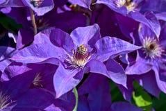 Пчела на цветке. Стоковые Фото
