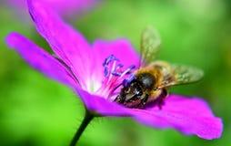 Пчела на цветке Стоковое фото RF