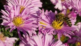 Пчела на цветке видеоматериал