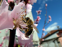 Пчела на цветке Стоковое Изображение