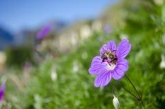 Пчела на цветке Стоковые Изображения