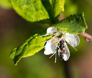 Пчела на цветке Стоковая Фотография