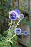 Пчела на цветке echinops Стоковая Фотография RF