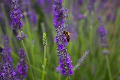 Пчела на цветке lavander Стоковые Изображения RF
