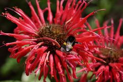 пчела на цветке Monarda стоковое фото rf