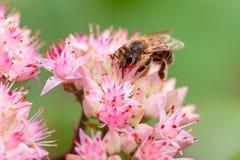 Пчела на цветке orpine Стоковая Фотография RF