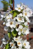 Пчела на цветорасположениях груши Стоковые Изображения
