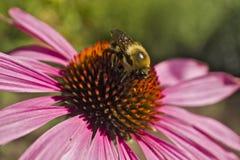 Пчела на чашке конца высокого угла цветка эхинацеи Стоковые Фото