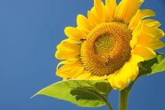 Пчела на ярко освещенном солнцецвете Стоковые Изображения