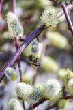 Пчела на blossoming вербе Стоковое фото RF