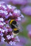 Пчела на bonariensis вербены Стоковое Фото
