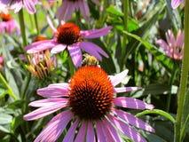 Пчела на coneflower в саде акции видеоматериалы