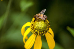 Пчела на Coneflower смотря на налево Стоковое фото RF