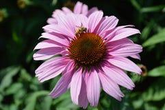 Пчела на coneflower Стоковые Фото