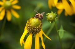 Пчела на Conelfower Стоковое Фото