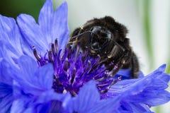 Пчела на Cornflower Стоковая Фотография RF