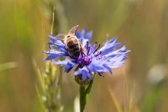 Пчела на cornflower Стоковые Изображения