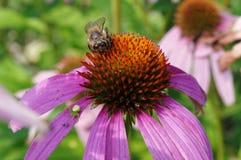 Пчела на Echinacea Стоковые Изображения