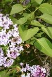 Пчела на ¾ f ветви Ð спокойное Стоковое Изображение