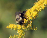 Пчела на Goldenrod wildflower Стоковая Фотография