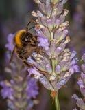 Пчела на Lavander Стоковое Изображение