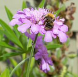 Пчела на Mauve цветке Стоковое Фото