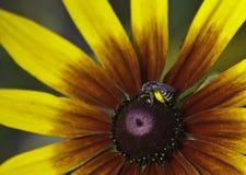 Пчела на rudbeckia Стоковое Изображение