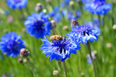 Пчела на wildflower Стоковое Фото